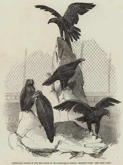 Australian Eagles in the Menagerie of the Zoological Society, Regent's Park--Giclee Print