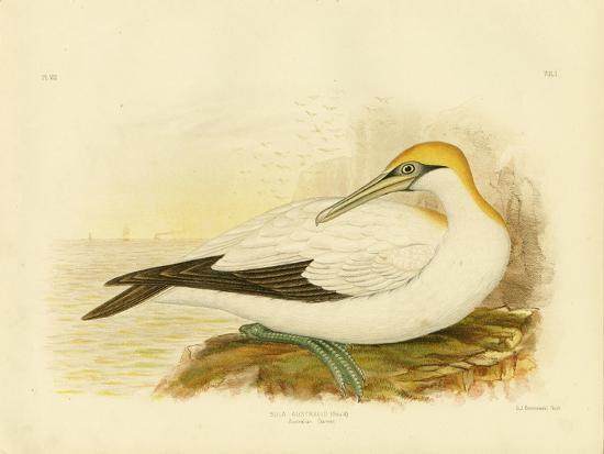 Australian Gannet, 1891-Gracius Broinowski-Giclee Print