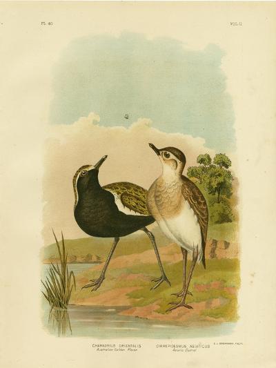 Australian Golden Plover or Pacific Golden-Plover, 1891-Gracius Broinowski-Giclee Print
