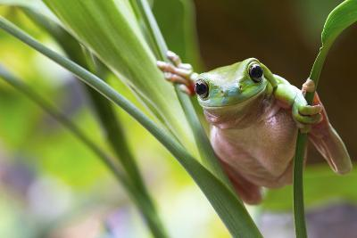 Australian Green Tree Frog on a Leaf.-Andrew Lam-Photographic Print