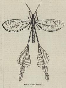 Australian Insect
