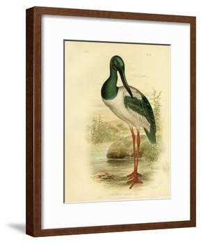 Australian Jabiru or Black-Necked Stork, 1891-Gracius Broinowski-Framed Giclee Print