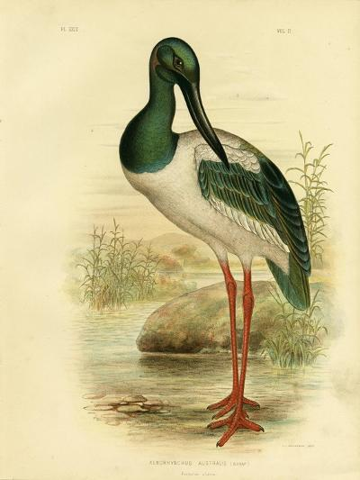 Australian Jabiru or Black-Necked Stork, 1891-Gracius Broinowski-Giclee Print