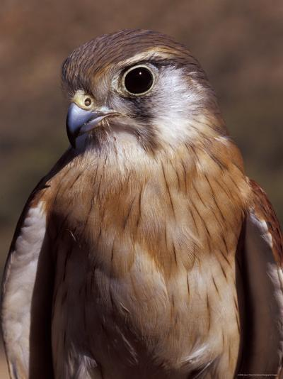 Australian Kestrel Head, Sharp Beak and Eye-Jason Edwards-Photographic Print
