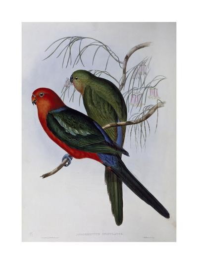 Australian King Parrot (Alisterus Scapularis) (1804-1881) and Henry Constantine Richter (1821-1902)-John Gould-Giclee Print