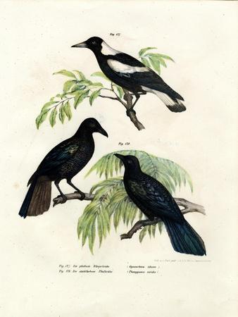 Australian Magpie, 1864--Giclee Print