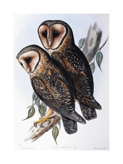 Australian Masked-Owl (Strix Personata)-John Gould-Giclee Print