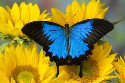 https://imgc.artprintimages.com/img/print/australian-mountain-blue-swallowtail-butterfly-on-sunflower_u-l-q1cz9wc0.jpg?p=0