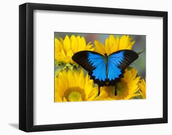 Australian Mountain Blue Swallowtail Butterfly on sunflower-Darrell Gulin-Framed Photographic Print