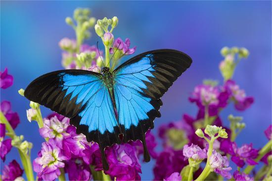 Australian Mountain Blue Swallowtail Butterfly-Darrell Gulin-Premium Photographic Print