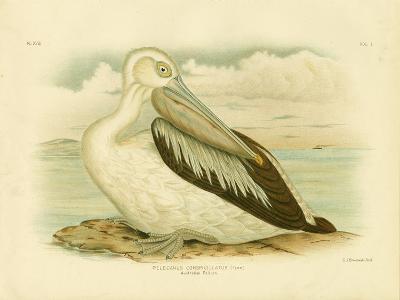 Australian Pelican, 1891-Gracius Broinowski-Giclee Print