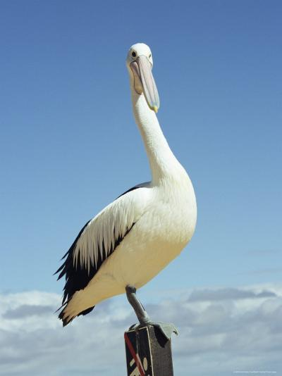 Australian Pelican, Pelecanus Conspicillatus, Shark Bay, Western Australia, Australia, Pacific-Ann & Steve Toon-Photographic Print
