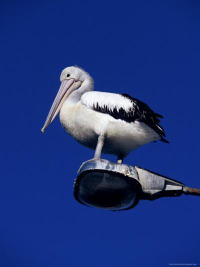 Australian Pelican Perched on Lightpole against a Sky Blue Background-Jason Edwards-Photographic Print