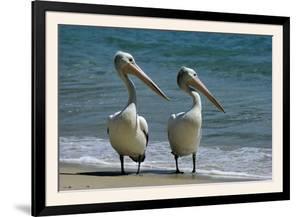Australian Pelican Two Birds at Wateros Edge