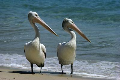 Australian Pelican Two Birds at Wateros Edge--Photographic Print