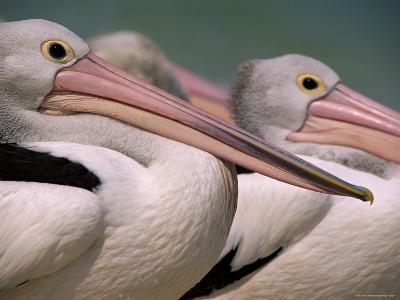 Australian Pelicans, Queensland, Australia-Staffan Widstrand-Photographic Print