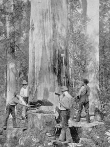 Felling a Blue-Gum Tree in Huon Forest, Tasmania, c.1900, from 'Under the Southern Cross -? by Australian Photographer