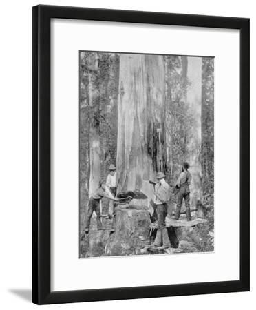 Felling a Blue-Gum Tree in Huon Forest, Tasmania, c.1900, from 'Under the Southern Cross -…