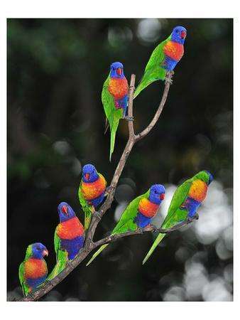 Australian Rainbow Lorikeets--Art Print