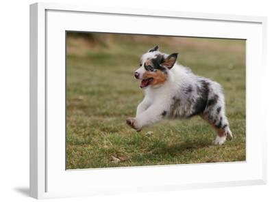 Australian Sheepdog, Shepherd Dog--Framed Photographic Print