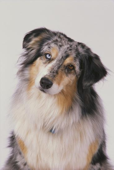 Australian Shepard with Different Color Eyes-DLILLC-Photographic Print