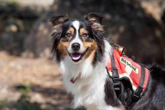 Australian Shepherd Search and Rescue Dog-Zandria Muench Beraldo-Photographic Print