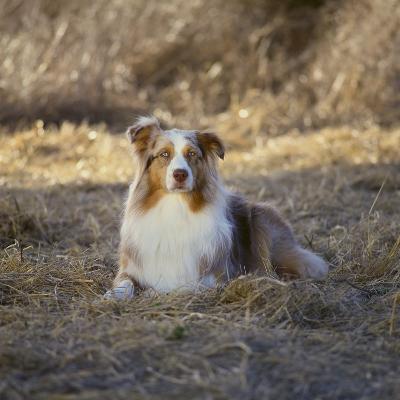 Australian Shepherd-DLILLC-Photographic Print