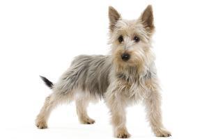 Australian Silky Terrier Puppy in Studio