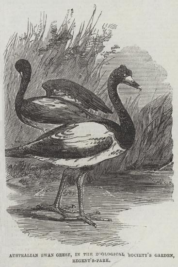 Australian Swan Geese, in the Zoological Society's Garden, Regent'S-Park--Giclee Print