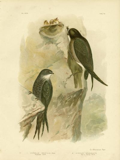 Australian Swift or Fork-Tailed Swift, 1891-Gracius Broinowski-Giclee Print