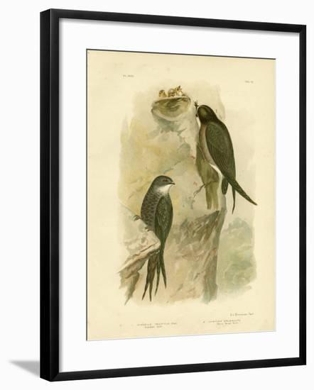Australian Swift or Fork-Tailed Swift, 1891-Gracius Broinowski-Framed Giclee Print