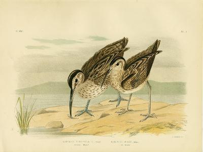 Australian Whimbrel, 1891-Gracius Broinowski-Giclee Print