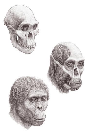 Australopithecus Africanus-Mauricio Anton-Photographic Print