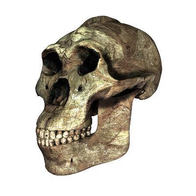 Australopithecus Boisei Skull-Friedrich Saurer-Photographic Print