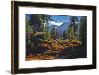 Austria, Ötztal, Swiss Pines Forest in Obergurgl-Ludwig Mallaun-Framed Photographic Print