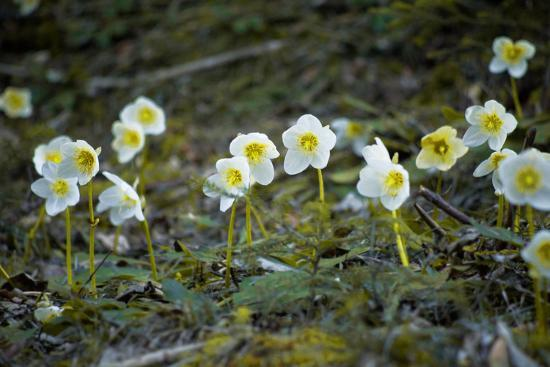Austria, Thiersee, Snow Roses-Ludwig Mallaun-Photographic Print