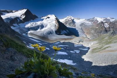 Austria, Tyrol, …tztaler Alpen, Wildspitze, Summit, Pippau, Crepis-Rainer Mirau-Photographic Print