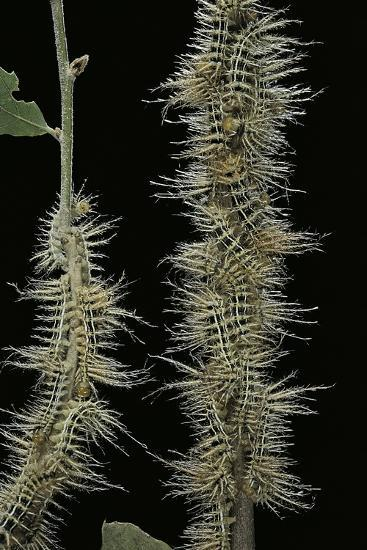 Automeris Egeus (Moth) - Caterpillars-Paul Starosta-Photographic Print