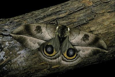 Automeris Harrisorum (Moth)-Paul Starosta-Photographic Print