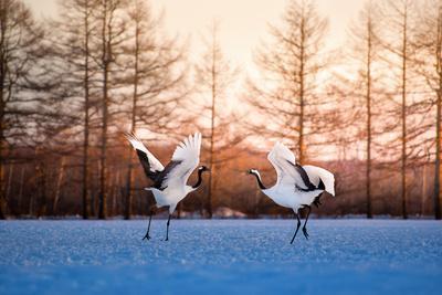 Red Crowned Crane Kushiro Hokkaido Japan