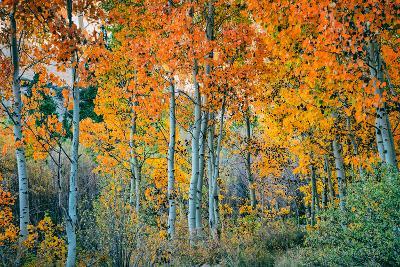 Autumn Aspen Design, Bishop Creek Canyon, Eastern Sierras-Vincent James-Wall Mural