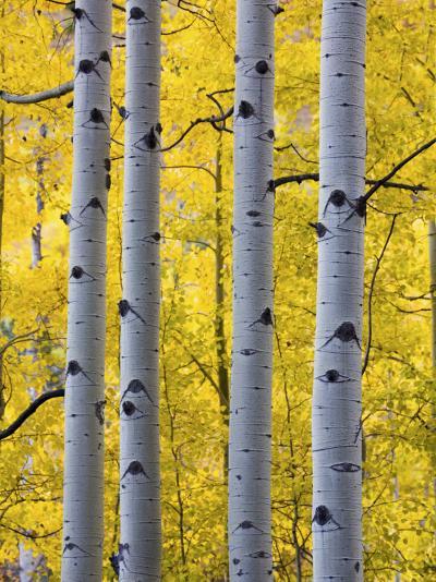 Autumn Aspen Stand, Yankee Boy Basin, Colorado, USA-Terry Eggers-Photographic Print
