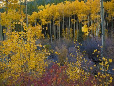 Autumn Aspens Along Cottonwood Pass, Rocky Mountains, Colorado,USA-Anna Miller-Photographic Print