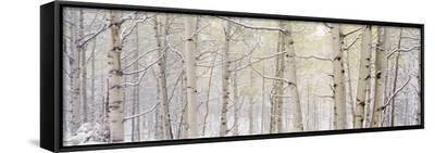 Autumn Aspens with Snow, Colorado, USA--Framed Canvas Print