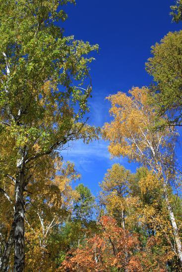 Autumn. Birch Tops against Blue Sky-???????? ??????-Photographic Print
