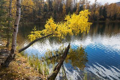 Autumn, Birch with Yellow Leaves over a Lake-Vensk-Photographic Print