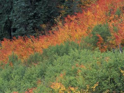 Autumn Color in the Mt. Rainier National Park, Washington, USA-William Sutton-Photographic Print