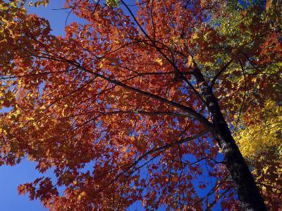 Autumn Color Sugar Maple Tree Foliage (Acer Saccharum), White Mountains National Park-Jeff Foott-Photographic Print