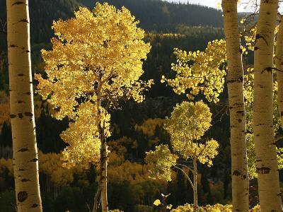 Autumn Colored Aspen Trees-Charles Kogod-Photographic Print
