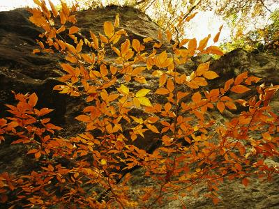 Autumn-Colored Beech Trees at Raven Rock-Raymond Gehman-Photographic Print